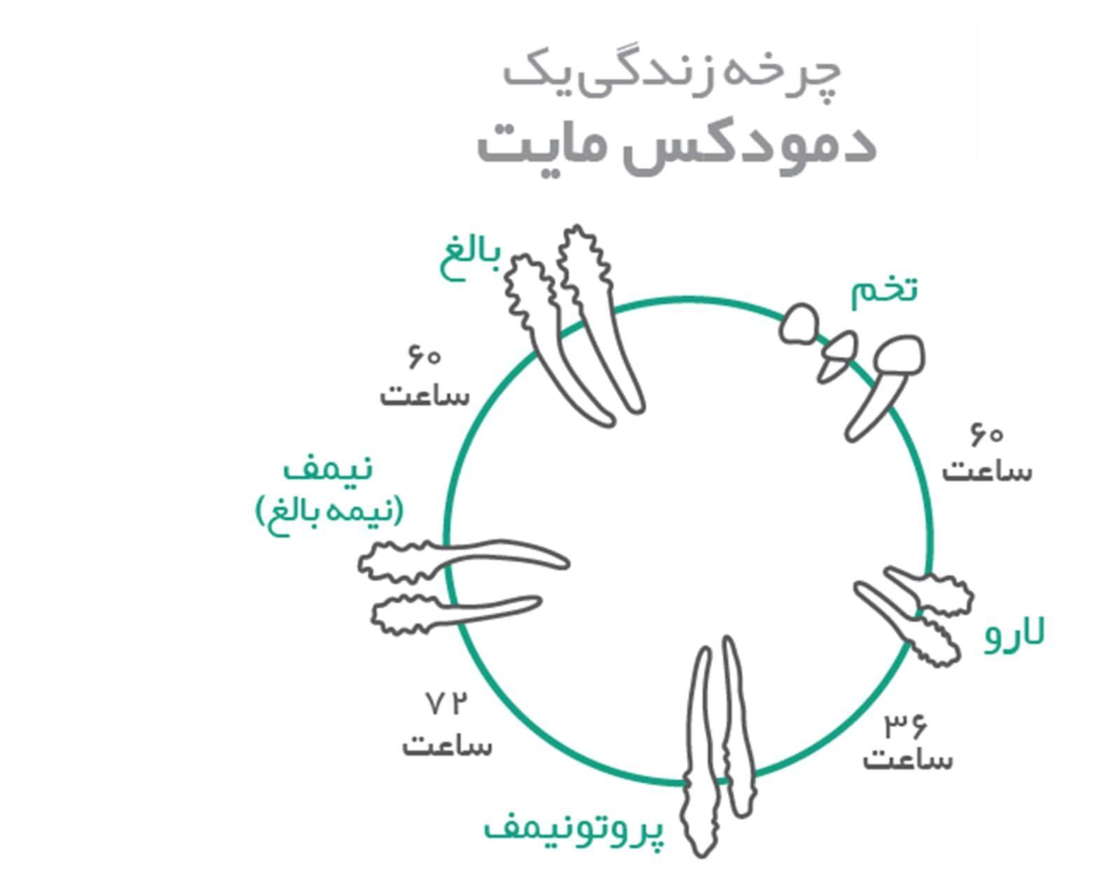 چرخه حیات مایتها